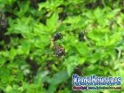 Araña Gasteracantha cancriformis orbweaver spider