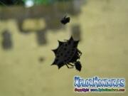 Arana Panadera Gasteracantha cancriformis