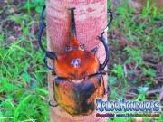 escarabajo megasoma elephas rinoceronte