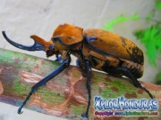 Escarabajo Megasoma Elephas