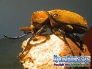Escarabajo Elefante Megasoma elephas