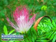 Acacia de Constantinopla flor