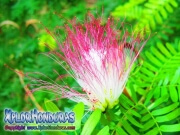 Acacia de Persia Flor