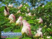 Acacia Persa Albizia Julibrissin