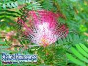 acacia persa flor