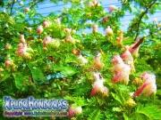 Albizia Julibrissin Acacia Taperera
