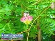 Silk Plant Acacia de Constantinopla