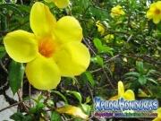 Allamanda cathartica Flower Golden Trumpet