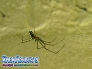 Araña de Huerto Leucauge Venusta