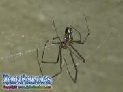 Araña de Huerto Venusta