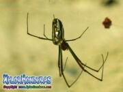 Araña de Huerto