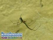 Araña Leucauge Venusta