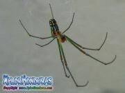 Leucauge Venusta Araña de Huerto