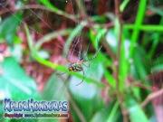 Leucauge Venusta Orchard Orbweaver Spider