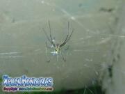 Leucauge Venusta Orchard Spider