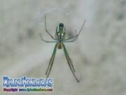 Leucauge Venusta Spider