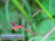 Orchard Orbweaver Venusta spider