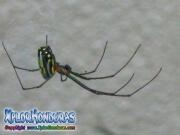 Orchard spider Leucauge Venusta