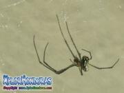 Orchard Venusta spider