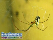 Spider Leucauge Venusta