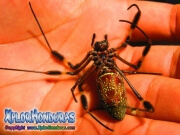 Arana gigante Nephila
