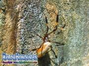 Arana Nephila Gigante