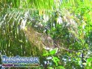 Golden orbweb spider