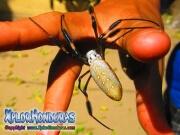Nephila Clavipes Arana