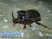 escarabajo Oryctes nasicornis European rhinoceros beetle