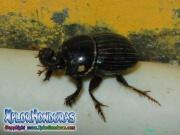 escarabajo rinoceronte europeo  European rhinoceros beetle honduras