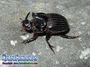 escarabajo rinoceronte europeo honduras