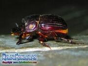 escarabajo rinoceronte europeo Oryctes nasicornis