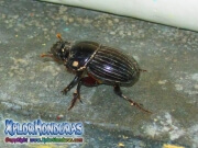 European rhinoceros beetle escarabajo rinoceronte europeo honduras