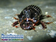 Oryctes nasicornis escarabajo rinoceronte europeo