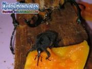 casanga gorgojo de palma