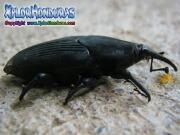 Escarabajo negro Rhynchophorus palmarum