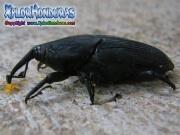 Escarabajo (Rhynchophorus palmarum)