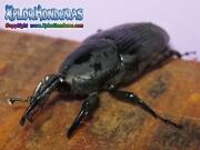 escarabjo picudo negro de la palma casanga