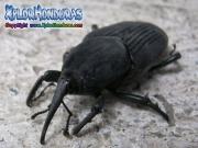 gorgojo de la palma escarabjo