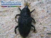 gorgojo de palma Rhynchophorus palmarum