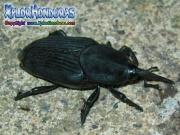 gorgojo escarabajo de la palma
