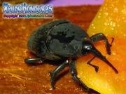 gorgojo Rhynchophorus palmarum