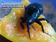 picudo negro de la palma gorgojo casanga