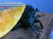 picudo negro de la palma gorgojo de palma