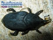 Rhynchophorus palmarum gorgojo de palma