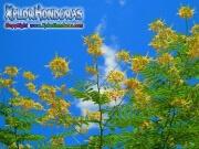 Flamboyan Amarillo Caesalpinia Pulcherrima
