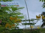 Flor Acacia Amarilla Caesalpinia Pulcherrima