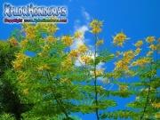 Poinciana Amarilla Caesalpinia Pulcherrima