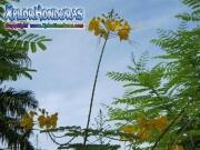 Yellow Flamboyant Caesalpinia Pulcherrima