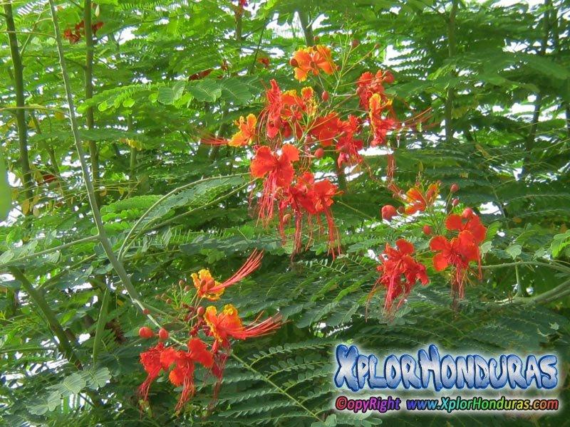 Acacia Roja Fotos Flor Acacia Roja Honduras Xplorhonduras Honduras